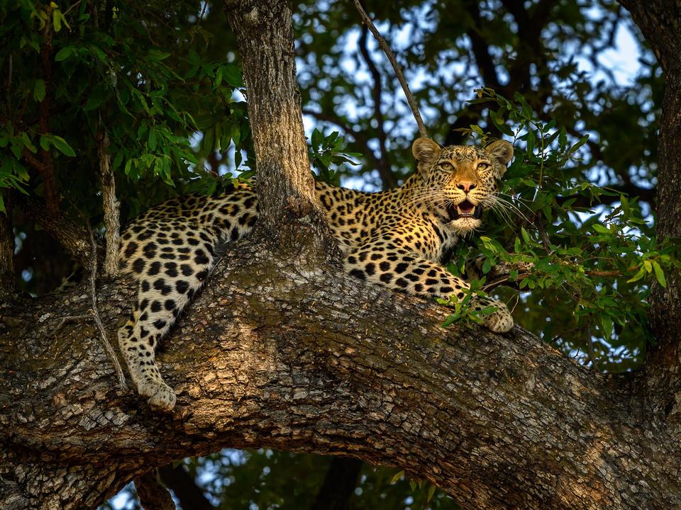 Leopard sind regelmäßig auf dem Linyanti Wildlife Reserve zu sehen