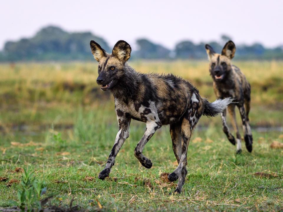 Der Linyanti ist berühmt für seine erstaunlichen Wildhunde Sichtungen