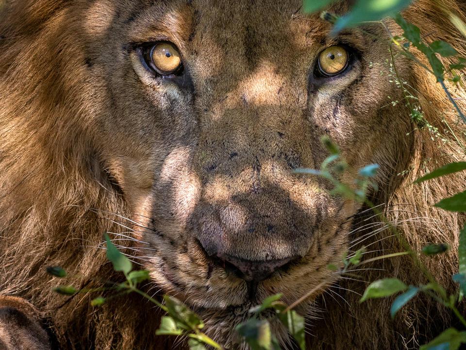 Einer der legendären männlichen Löwen des Linyanti
