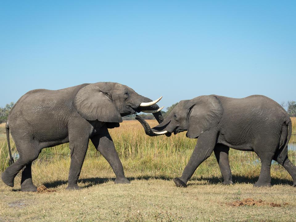 Elefanten tusslen im Linyanti