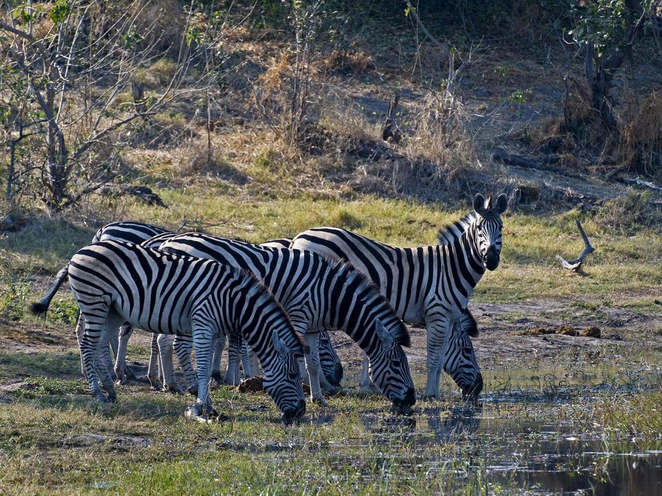 Zebra trinken im Linyanti